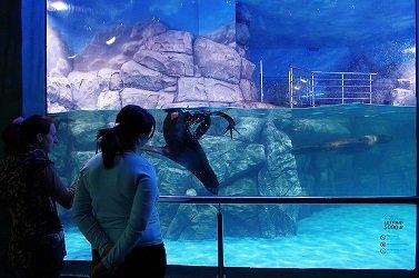 Северные морские котики в океанариуме РИО.